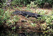 American Alligator, Okefenokee, Okefenokee National Wildlife Refuge, Wildlife Refuge, Georgia