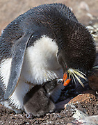 Southern rockhopper penguin (Eudyptes chrysocome) feeding it's newly hatched chick at Sounders Island, the Falkland Islands
