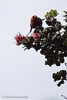 Apapane feeding in an ʻōhiʻa lehua (Metrosideros polymorpha) tree. Big island of Hawaii.