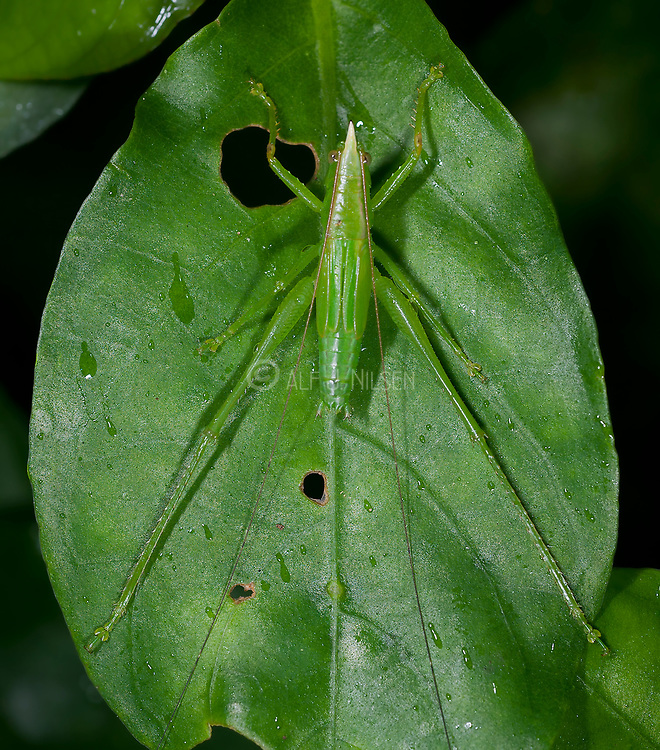 Connehead katydid from La Selva, Ecuador. The typical horn on the top of their head is clearly visible in this photo.
