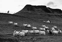 Sheeps at Hunsstadir, north of Iceland - Kindur við Húnsstaði