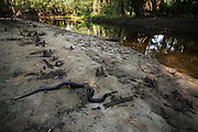Eastern Indigo Snake (Drymarchon couperi) at river<br /> CAPTIVE<br /> The Orianne Indigo Snake Preserve<br /> Telfair County, Georgia<br /> USA<br /> HABITAT & RANGE: Long leaf pine sandhills of central plains of Georgia, southern South Carolina south through Florida and west to Louisiana, Mississippi, and Alabama that are populated with Gopher Tortoises.<br /> Federally listed as THREATENED SPECIES