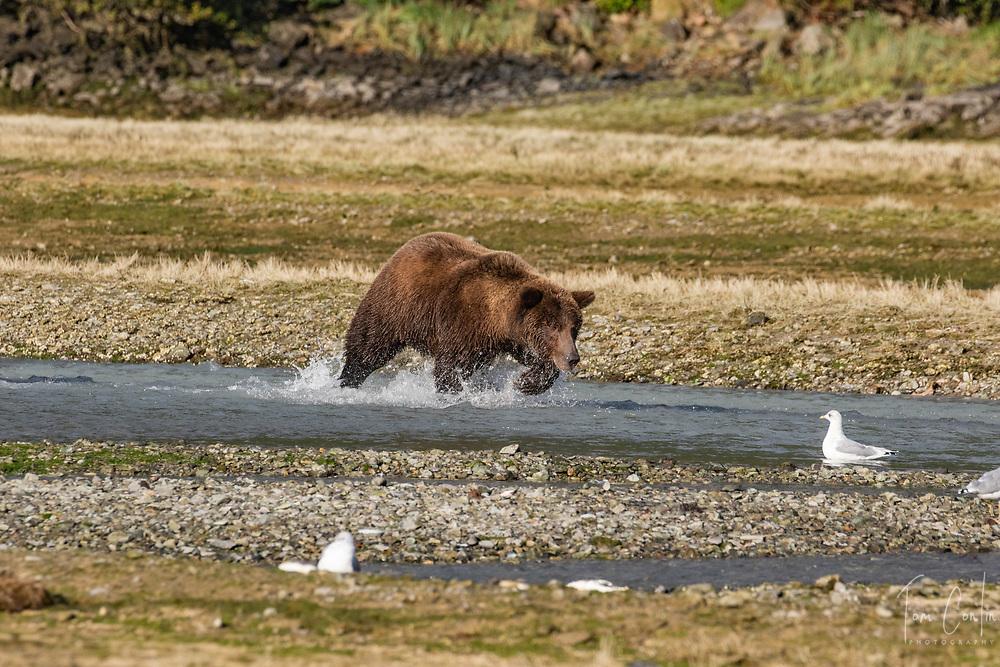 brown bear ~ Ursus arctos ~ Katmai National Park, Alaska ~ www.adventurequestX.com