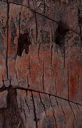 Bark Detail, Coconut Palm, Turtle Island, Yasawa Islands, Fiji