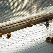 Dead ladybugs and a fly lay on a windowsill.