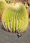 Jardin de Cactus designed by César Manrique, Guatiza, Lanzarote, Canary Islands, Spain - Cactaceae, Echinocactus