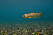 Brown Trout (Juvenile)<br /> <br /> Isaac Szabo/Engbretson Underwater Photography