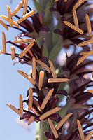 Lechuguilla (agave lechugilla), Glen Springs  Rd., Big Bend National Park, Texas