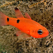Twospot Cardinalfish inhabit wide range of habitats from shallow want under docks to deep reefs in Tropical West Atlantic; picture taken Blue Heron Bridge, Palm Beach, FL.
