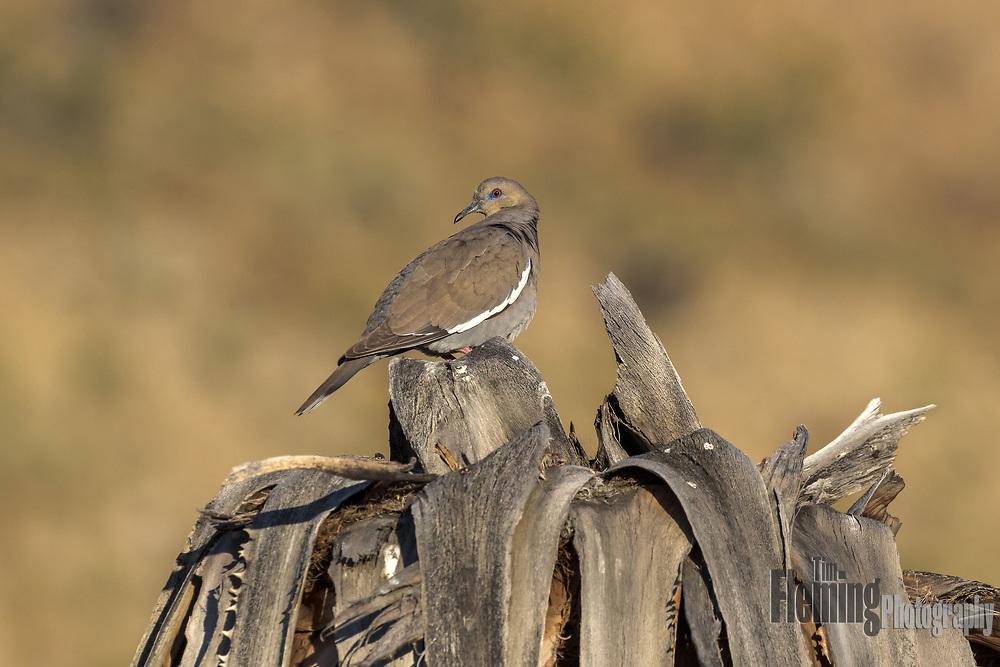White-winged dove in the Coachella Valley Preserve, Riverside County, California