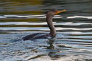 Double-Crested Cormorant, Bass Harbor, Maine