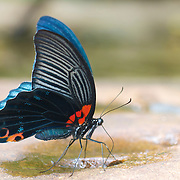 The Great Mormon (Papilio memnon) butterfly that belongs to the swallowtail family.
