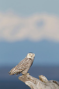 A young snowy owl (Nyctea scandiaca) is perched on driftwood at Damon Point in Ocean Shores, Washington. The Olympic Mountains are visible in the background. Snowy owls, which spend the summer in the northern circumpolar region north of 60 degrees latitude, have a typical winter range that includes Alaska, Canada and northern Eurasia. Every several years, for reasons still unexplained, the snowy owls migrate much farther south in an event known as an irruption. During one irruption, a snowy owl was found as far south as the Caribbean. During the 2011-2012 irruption, Ocean Shores on the Washington coast was the winter home for an especially large number of snowy owls. Snowy owls tend to prefer coastal and plains areas, which most resemble the open tundra that serves as their typical home. The owl shown here is a young bird; snowy owls become almost entirely white as they age, though females retain some of the darker coloration.