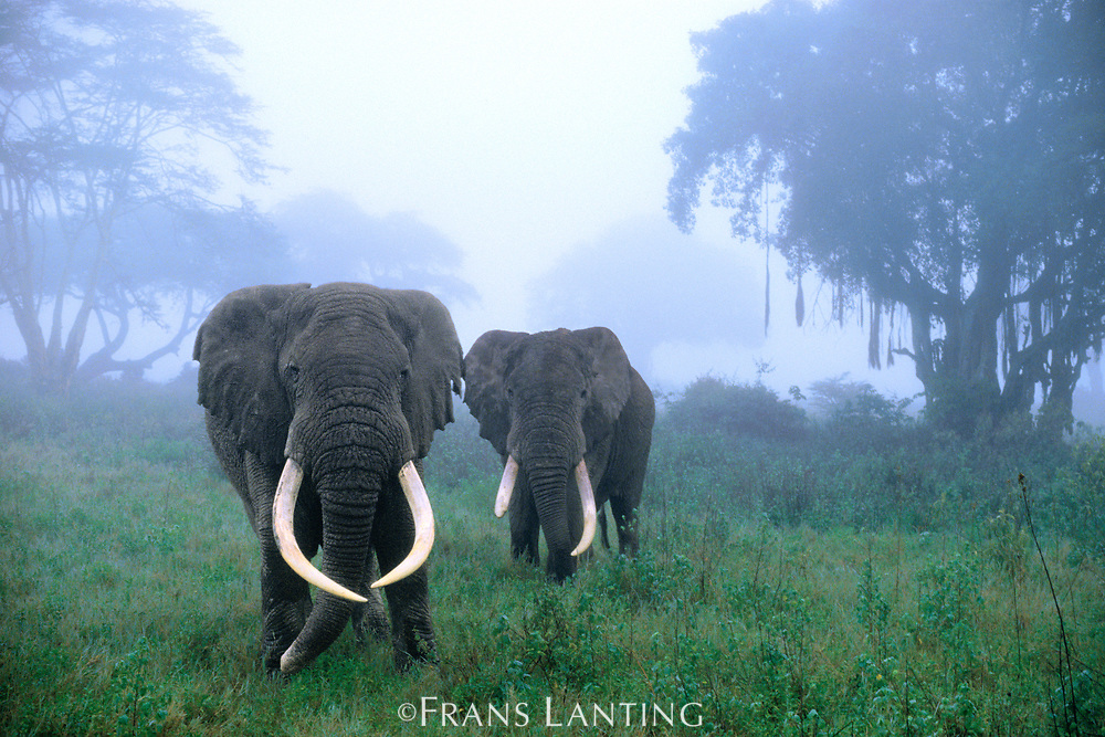 African elephants in mist, Ngorongoro Conservation Area, Tanzania