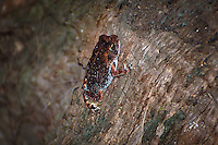 The tiny oak toad found hunting by day in the tree shadows along the Myakka River in Sarasota County, Florida.