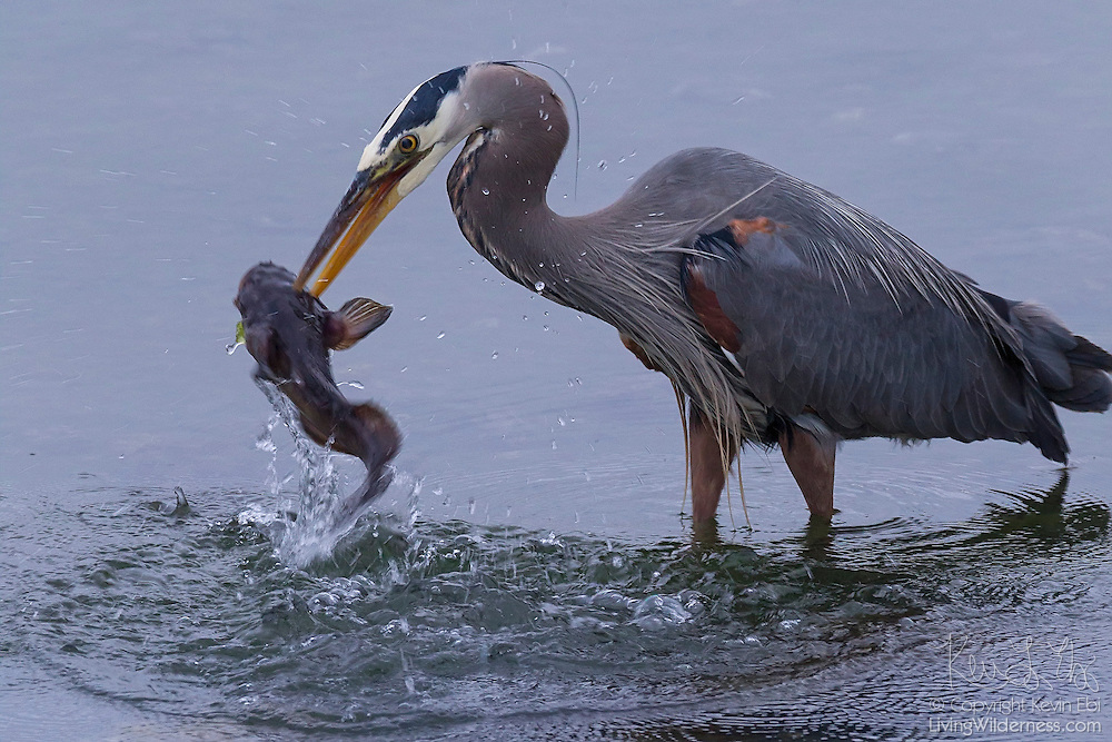 A great blue heron (Ardea herodias) catches a fish in the shallow water of Hood Canal near Seabeck, Washington at low tide.