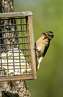 Hairy Woodpecker (Picoides villosus) on fat feeder, Courtenay, Vancouver Island, Canada   Photo: Peter Llewellyn