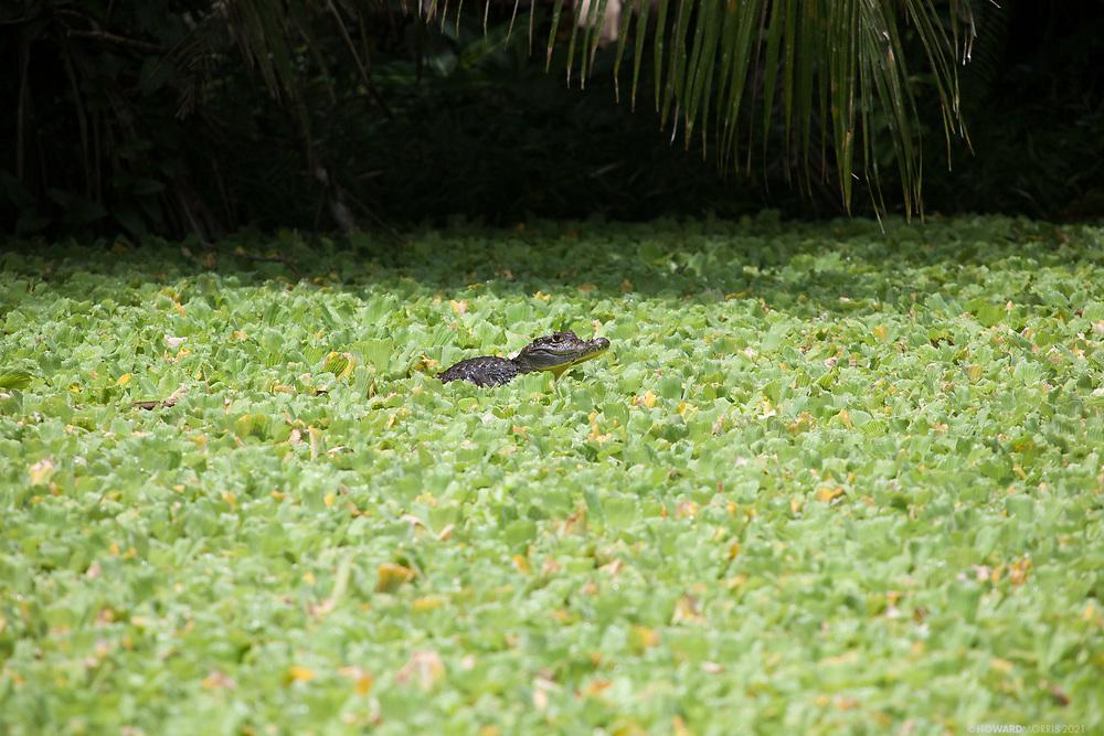 Spectacled Caiman (Caiman crocodiles), surfacing into the afternoon sun in a remote lake. Rio Sambu, Darien Province, Panama.