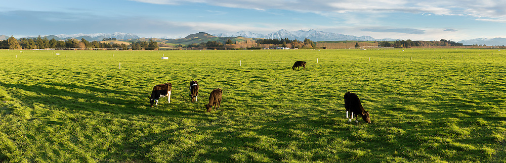 Five dairy cows grazing in lush green pasture on a dairy farm in Canterbury near Darfield. Snow covered mountains are in the background.