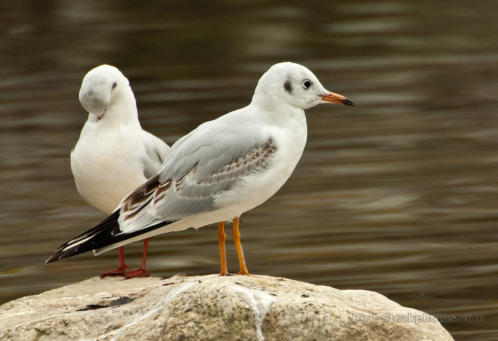 Pallas's Gull, (Great Black-headed Gull), Ichthyaetus ichthyaetus, Japan, by Owen Deutsch