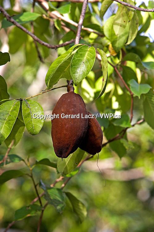 Fruit of Tree Called Water Cocoa, Orinoco Delta in Venezuela