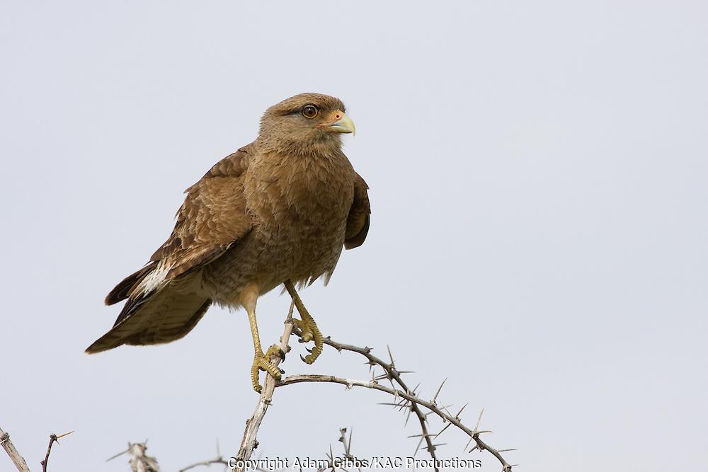 Argentina; Birds; Chimango Caracara; El Calafate; Laguna Nivez; Milvago Chimango; Santa Cruz Province; South America