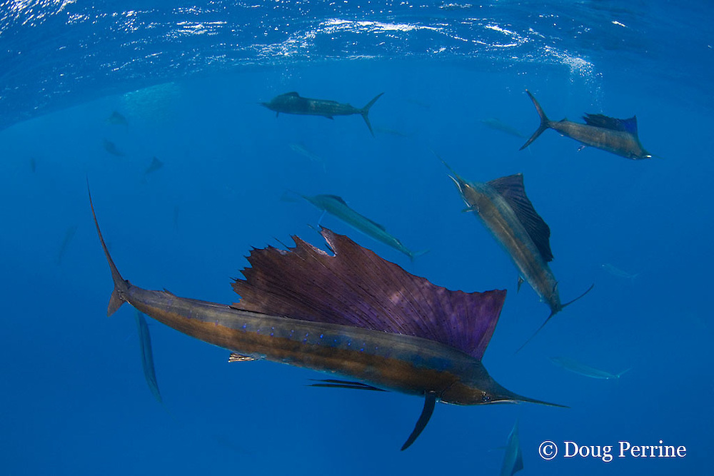 Atlantic sailfish, Istiophorus albicans, feeding on sardines that they have broken off from baitball (in background), Yucatan Peninsula, Mexico ( Caribbean Sea )