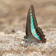 Graphium sarpedon sarpedon, common bluebottle or blue triangle butterfly