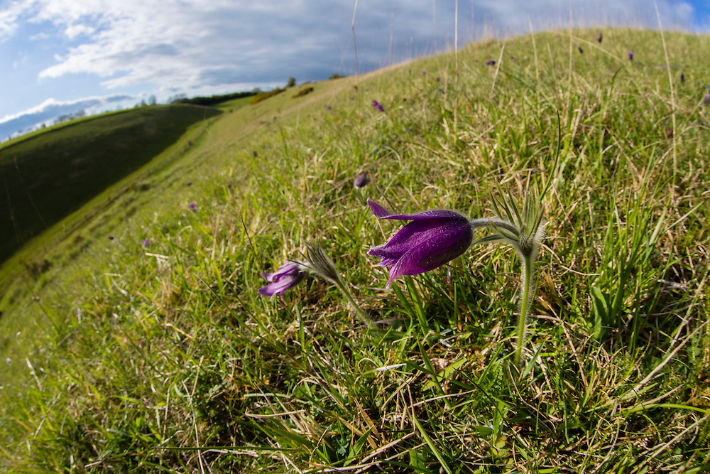 Pasque flower (Pulsatilla vulgaris) flowering on hillside, Pasque Flower GWT nature reserve, Gloucestershire, UK