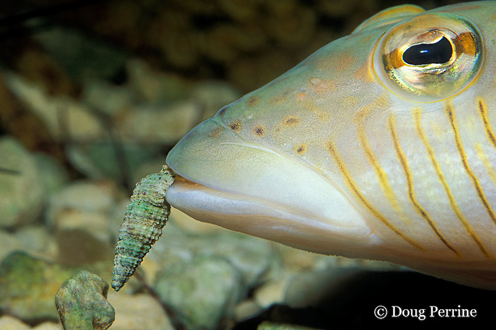 speckled sandperch, Parapercis hexophthalma (c), eating hermit crab, Thailand