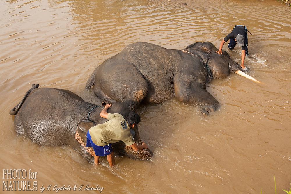 Mahut giving bath to Sumatran Elephant (Elephas maximus sumatranus), Pemerihan Elephant Center, Bukit Barisan Selatan National Park, Lampung, Sumatra, Indonesia