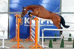 067 - Felicia v Con Amper<br /> Vrijspringen<br /> KWPN Paardendagen Ermelo 2013<br /> © Dirk Caremans