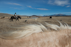 "Stephen Becklund and his dogs, Max and Ellie, herd cattle at the J Bar L ranch on a sunny November day in the Centennial Valley of southern Montana. The J Bar L ranch finish their cattle on grass, in contrast to the vast majority of ranches in the U.S. that send cattle to feedlots. The 2,000 head at J Bar L ""never go into a feedlot,"" said Bryan Ulring, manager of the ranch. He added that the J Bar L is one of the biggest grass finishers in the state. The Centennial Valley is an important wildlife corridor for elk, moose, antelope, deer, wolverines, grizzly bears, wolves and hundreds of bird species. The valley is largely owned by a handful of large ranches, which means their use of the land impacts the local environment. © Ami Vitale"