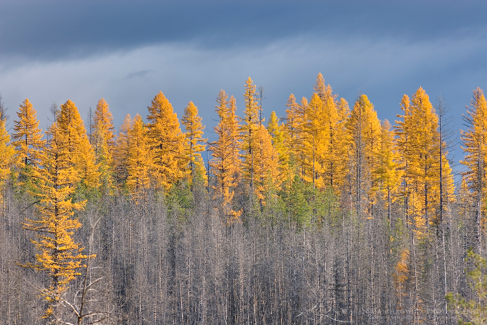 Burned forest doted with Western larch trees displaying autumn foliage, Glacier National Park Montana USA
