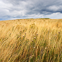 Dune Grasses under a Dark Sky near Amble Northumberland England
