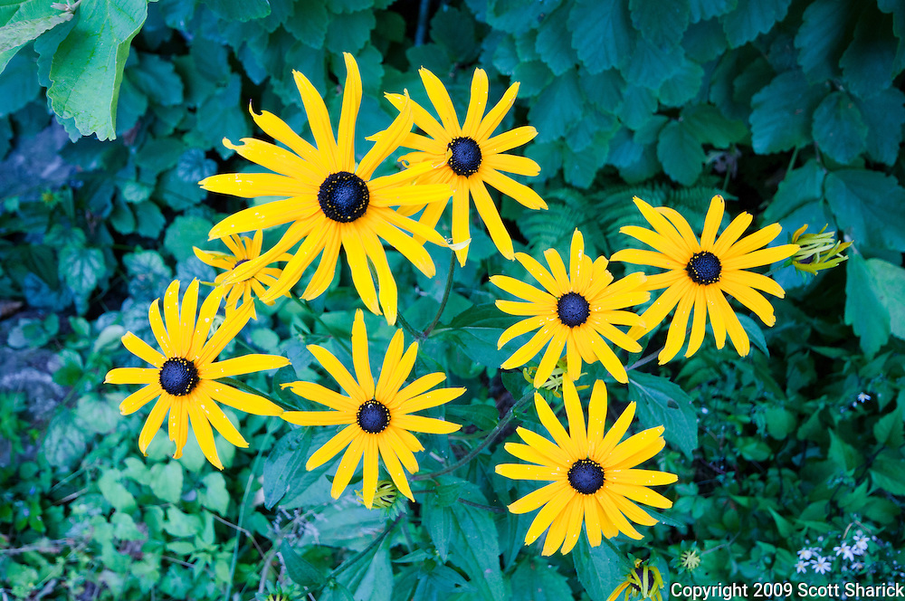 A picture of a group of bright yellow daisies. Missoula Photographer