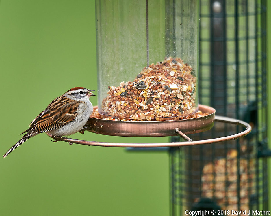 Chipping Sparrow on a Bird Feeder. Image taken with a Nikon D4 camera and 600 mm f/4 VR lens (ISO 360, 600 mm, f/4, 1/400 sec).