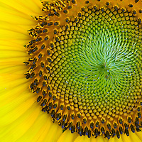 Close-up image of the head of a sunflower (Helianthus annuus), McKee-Beshers Wildlife Management Area, Poolesville, Maryland.