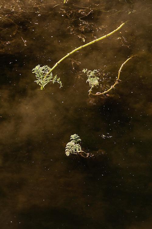 Fine-leaved Water-dropwort (Oenanthe aquatica) in fog, Gornje Podunavlje Special Nature Reserve, Serbia