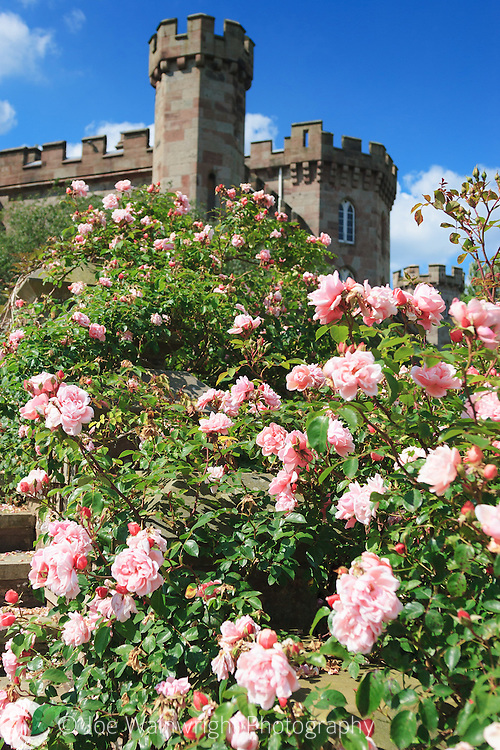 The castellations of the early 19th century Cholmondley Castle, Cheshire, peer from behind a fine display of roses.  Photographed in June.