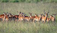 Maasai Mara Impalas (Aepyceros melampus) gathered together in the field at the Maasai Mara National Reserve, Kenya