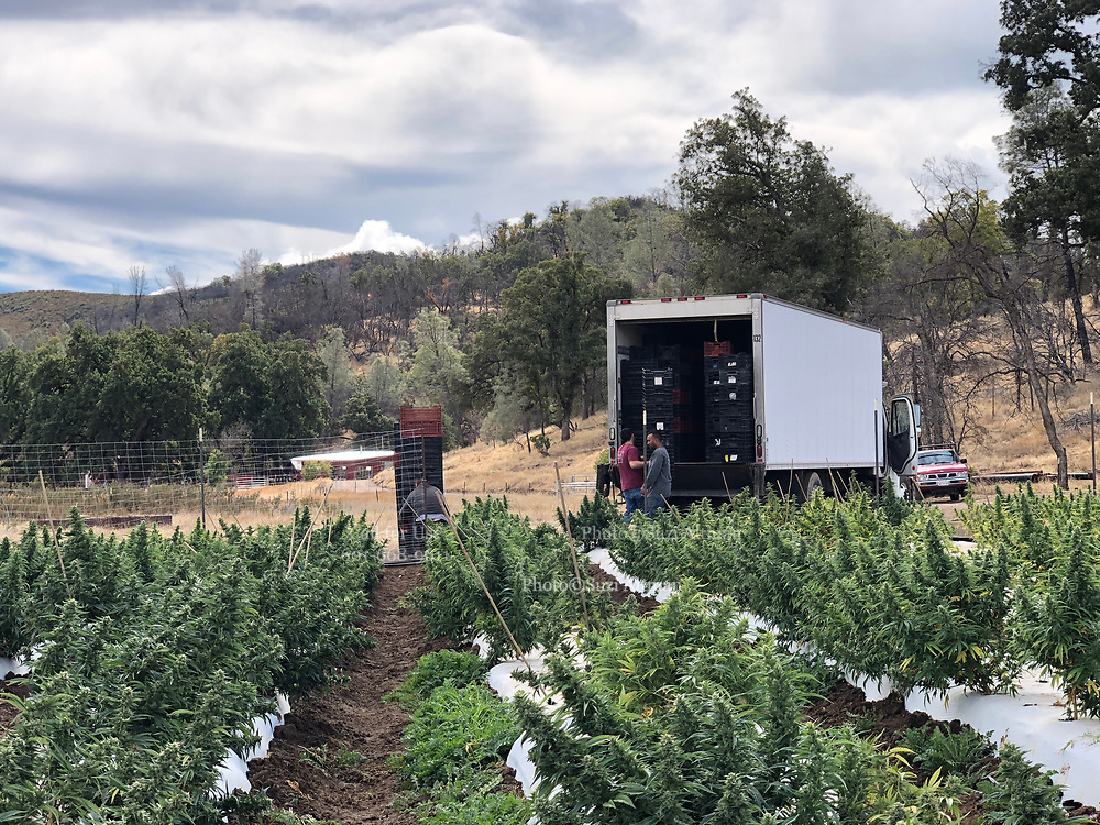 Harvest- first legal recreational cannabis crop in California. Best photography job ever- love the client and grateful for the opportunity. This is a special one acre of auto flower and it turned out phenomenal! Also Special genetics - I love science. Photo copyright © @suzialtman #art #photographer #photography #california #cannabis #grow #green #healthandwellness #organic #teamworkmakesthedreamwork #strong #suzialtman #weedporn #believe #harvest #legal #weed #sun #sungrown #autoflower #science #genetics #iphone
