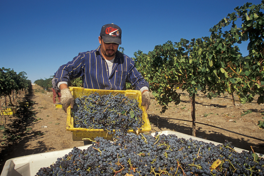 Harvesting Merlot grapes in vineyard at Terra Blanca Vintners, Red Mountain, Washington.