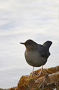 American dipper perched on a mossy log above a pond near along the Yaak River in late fall. Yaak Valley in the Purcell Mountains, northwest Montana.