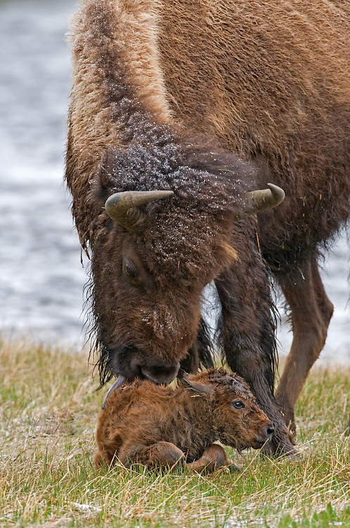 After a gestation period of nine to ten months, the bison cow typically gives birth to a 40 pound calf from mid-April through May. Bison calves are usually born in isolated areas that afford a lot of cover, however, this calf was born in a small, grassy area along the Firehole River.