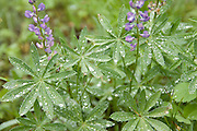 Oregon, Wallowa Mountains, Silky Lupine (lupine, lupinus sericeus), covered in raindrops. . PLEASE CONTACT US FOR DIGITAL DOWNLOAD AND PRICING.
