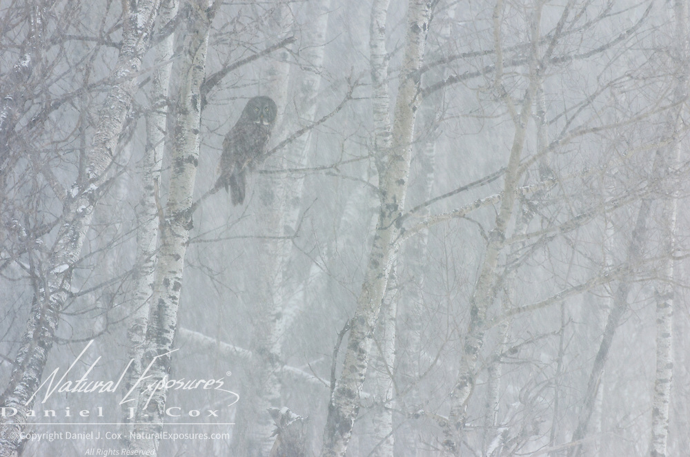 Great gray owl (Strix nebulosa) in a tree. Sax-Zim Bog, Minnesota