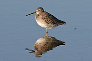 Long-billed Dowitcher photos
