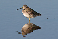 Long-billed Dowitcher photo Hawaii