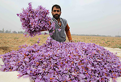 Saffron Flowers. <br /> 60682405 <br /> A Kashmiri villager gathers saffron flowers in a saffron field in Pampore, 25 kilometres south of Srinagar, the summer capital of Indian-controlled Kashmir, Nov. 6, 2013. Harvest season of saffron has come in the region. The saffron of Kashmir is famous for its high crocin content, Wednesday, 6th November 2013. Picture by  imago / i-Images<br /> UK ONLY